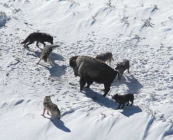 350px-Canis lupus pack surrounding Bison