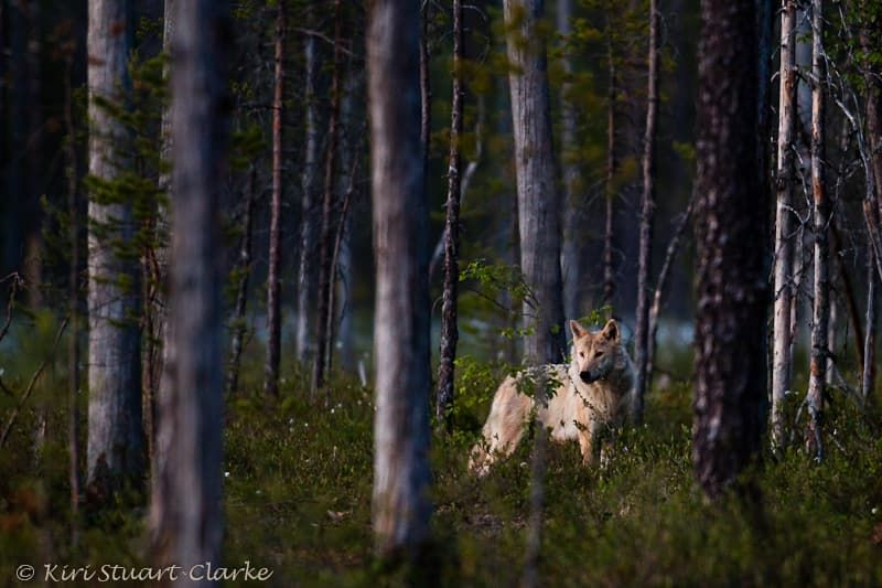 Grey-wolf-standing-alert-in-forest