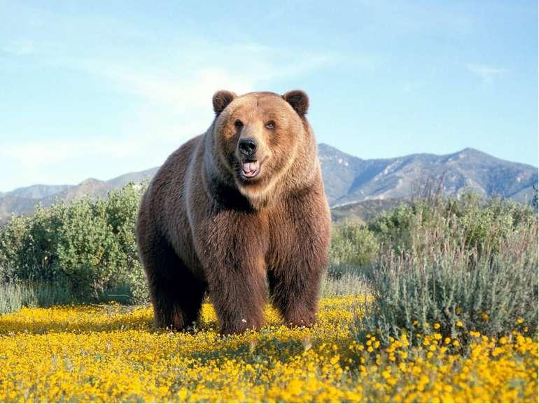Карпатський бурий ведмідь | СПАДЩИНА ПРЕДКІВ